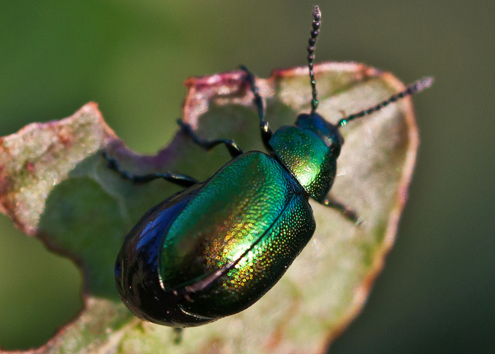 Iridescent beetle